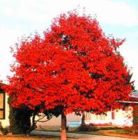 北方红栎、沼生栎、北美枫香、克罗拉多蓝杉、国王枫