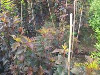 紫叶风箱果、金叶风箱果、金叶山梅花、金叶莸、金叶锦带、紫叶锦带、北方红栎、沼生栎
