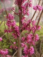 红枫,三角枫,五角枫,香椿,千头椿,椿树,垂榆白榆,榔榆树
