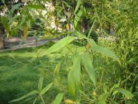 淡竹、茶杆竹、四季竹