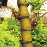 罗汉竹、猴竹、方竹