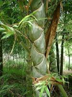 龟甲竹、箬竹、雷竹