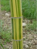 各类竹子(罗汉竹、方竹、花毛竹、高节竹)