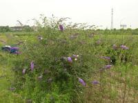 醉鱼草、紫苑、紫叶千鸟花