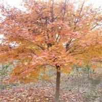 五角枫,香椿,千头椿,椿树,垂榆,白榆,榔榆,榆树,金丝柳