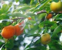 柿树、骨里红梅、照水梅、垂枝梅、绿梅、红叶碧桃、紫叶碧桃