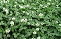 马尼拉草坪,四季青草坪,早熟禾草坪,黑麦草草坪,草皮,草花