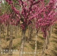 南天竹,石楠球,茶花茶梅,大叶栀子花,小叶栀子花,红王子锦带