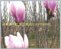 盘槐,龙爪槐,槐树,红枫,三角枫,五角枫,香椿,千头椿,椿树