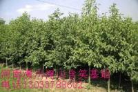 柿子树、拐枣、乌桕、枫杨、杜梨、棠梨、刺槐、臭椿、苦楝、楝树