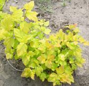 耐盐碱植物、耐旱植物金叶风箱果、金叶山梅花、金叶莸、金叶锦带、