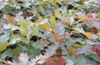 各种彩叶树种北方红栎、沼生栎、北美枫香、克罗拉多蓝杉、国王枫、花叶挪威枫、多花蓝果树、欧洲花楸、金叶皂角