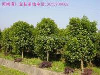 云杉,水杉,池杉,柳杉,杨树,速生杨,欧美107杨,白腊楸树