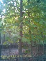 银芽柳、马褂木、云杉、水杉、池杉、柳杉、杨树、速生杨、新疆杨