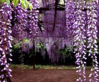美人蕉,紫藤,常青藤,常春藤,凌霄,爬山虎,爬墙虎,美国地锦