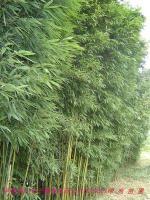 刚竹,紫竹,淡竹,窝竹,毛竹,常夏石竹,铺地竹,阔叶箬竹