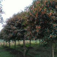 复叶槭、四季桂、香椿、龙柏、千头椿、红叶石楠球、榔榆、红叶李