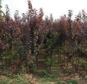 月季(100多种)等。美人蕉,芭蕉,花叶美人蕉、葱兰、紫叶酢