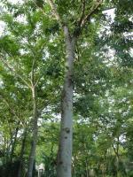榉树、?;?、金银花、枸杞、云南黄馨、连翘、小叶女贞