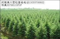 红瑞木、阔叶箬竹、高杆冬青球、松树、雪松、湿地松、黑松、罗汉松