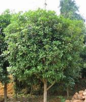 棕榈树、小叶含笑球、八月桂花树、金桂树、银桂、丹桂、四季桂花