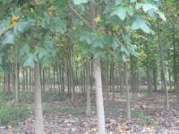杂交马褂木树、鹅掌楸树、云杉树、水杉树、池杉树、柳杉树、杨树