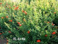 一串红、孔雀草、太阳花、羽衣甘蓝、虞美人、石竹草、飞燕草