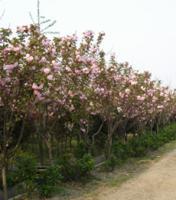 合歡、欒樹、法國梧桐,櫻花、紅葉李、紅楓