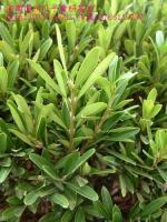 雀舌黄杨、瓜子黄杨、北海道黄杨、红叶小蘖、法国冬青、红花继木