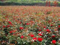 蔷薇.连翘、棣棠、流苏、木槿、红瑞木、迎春.各种月季
