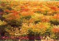 南天竹、红天竹、石楠球、茶花、茶梅树、大叶栀子花、小叶栀子花
