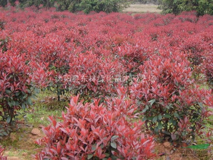 红叶石楠.红王子锦带,火棘.海棠.海桐.龟甲冬青.紫穗槐