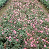 供應玫瑰月季價格、玫瑰月季圖片、玫瑰月季綠化苗木基地直銷
