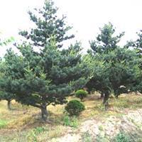 红瑞木、阔叶箬竹、高杆冬青球、松树、雪松、湿地松、黑松罗汉松