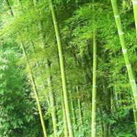竹子、早园竹、刚竹、紫竹、淡竹、窝竹、毛竹、常夏石竹、铺地竹