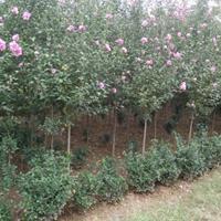 供應木槿價格、木槿圖片、木槿產地、木槿綠化苗木苗圃基地直銷