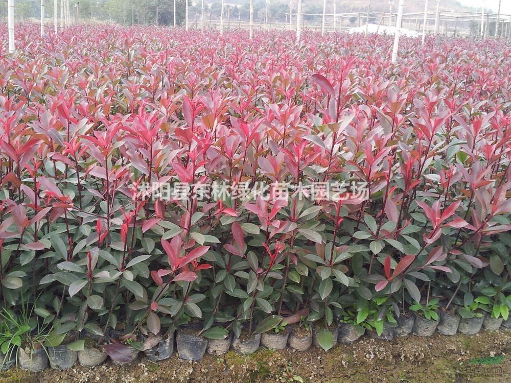供应红叶石楠、红叶石楠价格、红叶石楠营养杯苗、红叶石楠球