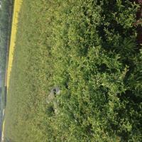 大量供应优质火棘苗、火棘价格、火棘球绿化苗木苗圃直销