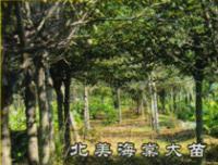 北美海棠大苗,垂枝红叶桃,垂枝樱花
