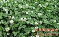 马尼拉 四季青 三叶草