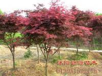 紅楓 櫻花 廣玉蘭 馬褂木 垂槐