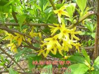 榆叶梅,红梅,绿梅,垂梅,连翘、贴梗海棠迎春类花卉