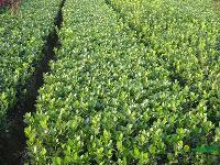 水腊种子、紫叶小檗种子、龙柏小苗、蜀桧小苗、瓜子黄杨