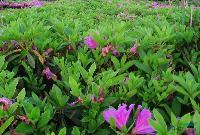 棣棠、杜鹃、山麻杆、红叶桃、金钟花、木槿