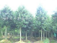 枫香、桤木、杜英、香樟、池杉、檫树、深山含笑、红豆杉、木荷