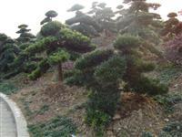 罗汉松树-造型罗汉松-台湾罗汉松-罗汉松价格