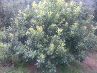 果树类苗木,梨树,橘子,冬枣,石榴,文旦等各类果树