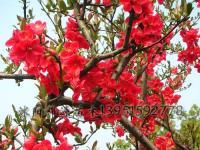 连翘、迎春、迎夏、木槿、樱花、红梅、绿梅、垂梅、贴梗海棠