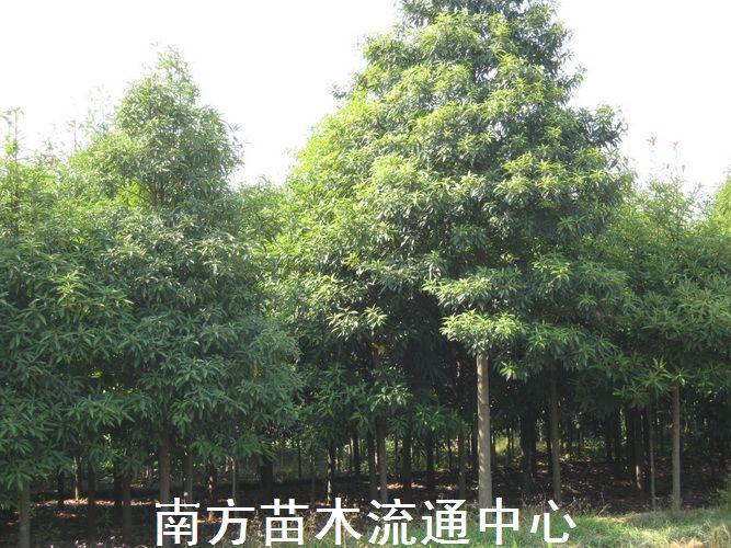 金丝楠木|楠木价格|湖南楠木|楠树(桢楠)