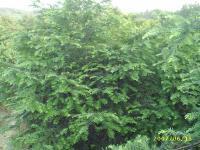 红豆杉南方红豆杉曼地亚红豆杉红豆杉苗圃苗红豆杉大树红豆杉种苗